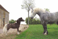 Cheval miniature +percheron largeL
