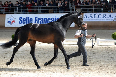 top sires 2014 Grafenstolz largeL